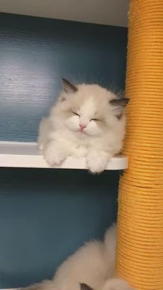 These cute kittens will make you amazed. Cats are awesome companions. Ragdoll Kittens, Cute Cats And Kittens, I Love Cats, Kittens Cutest, Bengal Cats, Baby Cats, Kitty Cats, Siamese Cats, Cute Funny Animals