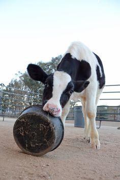 Cows make me happy.
