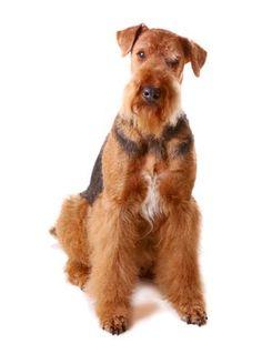 Razas de perros y Gatos | Airedale Terrier | Mascotas Ya!