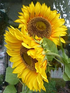 Sunflower Pictures, Sunflower Art, Yellow Sunflower, Happy Flowers, Pretty Flowers, Wild Flowers, Sun Flowers, Sunflower Canvas Paintings, Sunflower Photography
