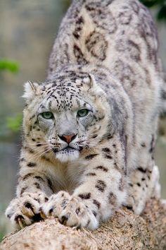 Panthère des Neiges, Snow Leopard (by Zed The Dragon)