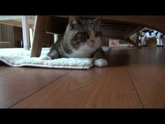 Remember the old days when Maru actually moved around in his videos? Well... action Maru is back!  ソファ下で遊ぶねこ。 -Maru plays under the sofa
