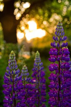 purple lupine blossums