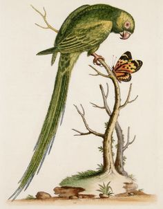George Edwards - Parakeet - 1802.