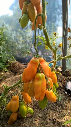 user posted image Growing Tomatoes In Containers, Growing Vegetables, Allotment Gardening, Gardening Tips, Honey Health Benefits, Goat Shed, Tomato Seeds, Heirloom Tomatoes, Autumn Garden