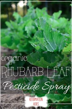 When it's either you or them, get rid of the bad bugs ruining your garden plants with an easy organic rhubarb leaf pesticide spray. Rhubarb Plants, Rhubarb Rhubarb, Growing Rhubarb, Rhubarb Recipes, Organic Gardening Tips, Vegetable Gardening, Veggie Gardens, Garden Pests, Garden Insects
