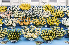 Varieties of daffodils