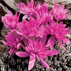 Bulb w. foliage in spring, bloom in late summer/early fall. Garden Bulbs, Bulb Flowers, Annual Plants, Garden Seeds, Water Lilies, Flower Seeds, Garden Supplies, Permaculture, Garden Planning
