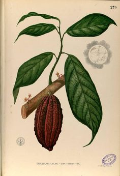 Painting of Theobroma Cacao (the source of chocolate!), from Flora de Filipinas by F.M. Blanco, published in Manila ca 1880, from the Digital Library of the Real Jardin Botanico, CSIC