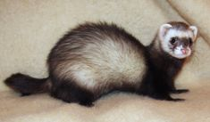 FERRET CARE: Grooming, Schedule, Cleaning, Accessories, Food, Water, Food Chart, Duck Soup, Supplements, Treats, & No No's.