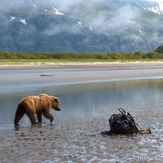 The grizzly bears of Alaska's Katmai Coast are some of the most approachable in the world, most likely because of the wealth of food that their… Grizzly Bears, Getting Bored, Clams, Brown Bear, Habitats, Alaska, Wealth, Distance, Coastal