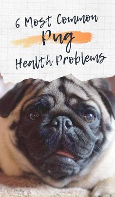 6 Most Common Pug Health Problems Dog Health Tips, Dog Health Care, Pug Health Problems, English Bulldog Breeders, English Bulldogs, Old Pug, Every Dog Breed, Baby Pugs, Pug Art
