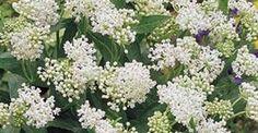 Asclepias incarnata 'Ice Ballet' | 7-9 | 80 (blad)  - 120 (bloem). Al eerder geplant maar weer verdwenen, prachtige plant, opnieuw proberen.