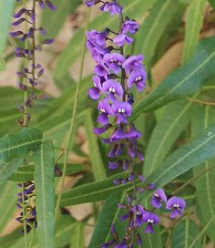 It loves partial shade and flourishes in a zone 6-7 or warmer. So take my advice and add a little Hardenbergia to your life! Plus when they really need water they get a bit droopy, but are very forgiving