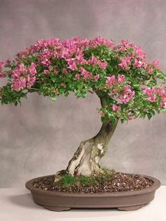 Fast growing bougainvillea bonsai have abundant flowers, love heat, tolerate cool, easy care, alternate leaves! What more could you ask from a tropical bonsai? Ikebana, Plantas Bonsai, Cherry Blossom Bonsai Tree, Cherry Blossoms, Bougainvillea Bonsai, Bonsai Tree Care, Bonsai Trees, Miniature Trees, Bonsai Garden