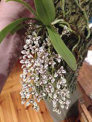 Sarcochilus weinthalii (kris_k) Tags: orchidaceae vulnerable sarcochilus arfp nswrfp qrfp blotchedsarcochilus sarcochilusweinthalii arfepiphyte arfflowers maroonarfflowers uplandarf subtropicalarf