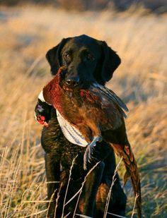 Dog Training Pheasant Wings