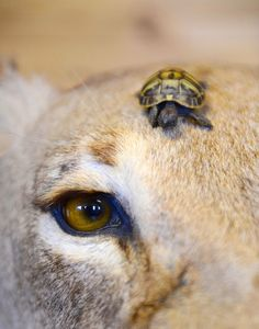 Tank is a Hermann's Tortoise and he's about 4 months old. He has a brother who's even teenier and tinier than he is. He was left to the U.K.'s Paradise Wildlife Park by their former head of reptiles as a leaving present.