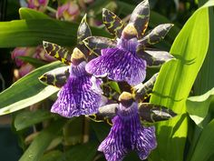 Gorgeous & Fragrant Zygopetalum Orchid. http://www.facebook.com/pages/American-Plant/111708498851820?ref=tn_tnmn http://www.americanplant.net/index.php