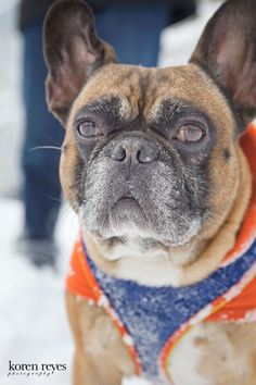 Frenchie, French bull dog, Central Park snowstorm, February 2013, dog in a coat, close-up