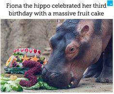 Celebrity Music: Fiona the hippo celebrated her third birthday with a massive fruit cake Cute Hippo, Baby Hippo, Third Birthday, Happy Birthday, Fiona The Hippo, San Antonio Zoo, Cincinnati Zoo, Country Music Stars, Good Buddy