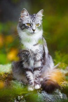 ᕈųяяʄᏋᏣɬ Ꮭ♡ⱴɛ (September Manu by Nitrok) Pretty Cats, Beautiful Cats, Pretty Kitty, Kittens Cutest, Cats And Kittens, Cat Reference, Grey Kitten, Cat Pose, Warrior Cats