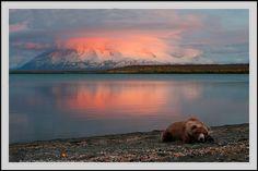 Grizzly bear and sunset, Katmai National Park, Alaska. Grizzly Bear resting on beach at sunset, Naknek Lake and Mt. Katmai National Park, National Parks, Black Bear, Brown Bear, Alaska, Animals And Pets, Cute Animals, Love Bear, Fauna