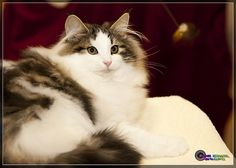 Norwegian Forest Cat by NurseDiesel, via Flickr