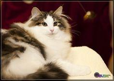 Norwegian Forest Cat by NurseDiesel, via Flickr