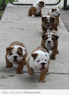 Adorable British Bull Dog Puppies xoox