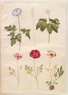 Anemone apennina; Actaea spicata ?; Anemone trifolia; Ranunculus asiaticus simp et pl, KKSgb2949/45