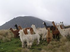 Alpaca | The alpaca weighs between 55 and 50 kilo-grams and its height is about ...