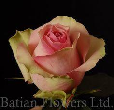 rose belle rose picture - Google zoeken