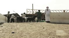 Herding Cattle - by Dylon Adonis - The Moving Postcards Project #VCUQatar #Doha