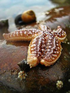Starfish by ian boyd on Flickr