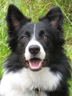 10 Best Border Collie Dog Names Border Collie Puppies, Collie Dog, Cute Dogs And Puppies, I Love Dogs, Doggies, West Highland Terrier, Big Dog Little Dog, Sweet Dogs, Herding Dogs
