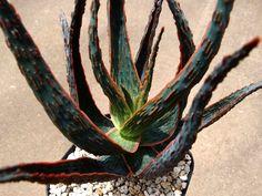 Aloe 'Dracula´s Blood' アロエ ドラキュラズ ブラッド