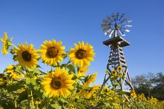 Happy Sunflower Day