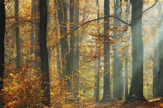 Sunbeams in a Colorful Autumnal Forest - Fototapeter