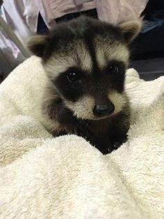 Baby raccoon <3 Looks like our Poppy Panda Bandit!