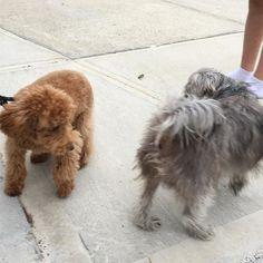 Met a new friend - peanut the poodle
