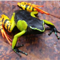 Baron's painted mantella is my favorite type of frog.