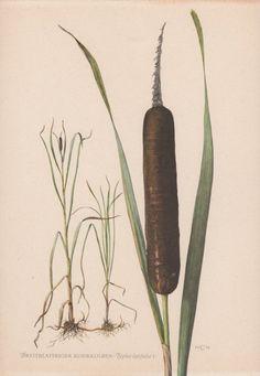Vintage Botanical Print Typha latifolia by AntiquePrintGarden