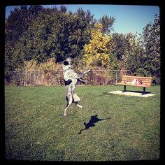 Jumping for the ball at Fort Walla Walla Dog Park - Walla Walla, WA - Angus Off-Leash #dogs #puppies #cutedogs #dogparks #wallawalla #washington #angusoffleash