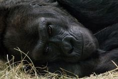 in a baby gorilla named Colo enters the world at the Columbus Zoo in Ohio, becoming the first-ever gorilla born in captivity. Zoos In Ohio, Columbus Zoo, Baby Gorillas, Just For Fun