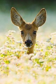 pretty deer peeking out of flower field
