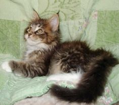 Maine coon kittens for sale indiana