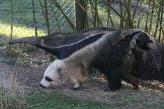【画像】どう見てもパンダにしか見えないオオアリクイ