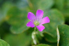 violet wood sorrel  - むらさきかたばみ