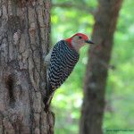 Beautiful Woodpecker in South Carolina. Click to see more nature photos.